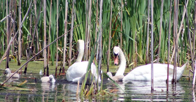 The mute swan family is pictured earlier this year. A Quinte West resident believes the female was shot with a small calibre rifle on Aug. 30, 2013 on a protected wetland pond just west of Trenton. The incident is being investigated by the Ministry of Natural Resources. The three signets have also died.