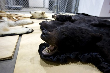 Recovered bear rugs are seen during an Edmonton Police Service press conference regarding the largest seizure of stolen goods in the police service's history in Edmonton, Alta., on Thursday, Sept. 12, 2013. Jason Raymond Schell, 34, is charged with 216 counts in the case. Ian Kucerak/Edmonton Sun/QMI Agency