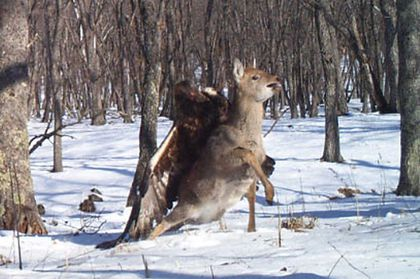 Eagle attacking deer