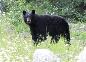 A black bear. (Postmedia Network file photo)