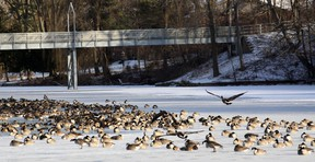 This flock of geese atop Lake Lisgar's freezing surface may seem unconcerned, but Public Health issued a cold weather alert Thursday, December 12. Jeff Tribe/Tillsonburg News