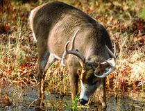 A whitetail buck forages for a few shoots of green grass in a pond. (Submitted photo).