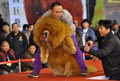 Zoo's lion actually a dog<br>How angry would you be if you ventured off to the zoo to see a mighty lion only to learn it was actually a Tibetan mastiff dog? This was the exact situation that occurred at the People Park's Zoo in central China. <br><br>The zoo was using the dog was a way to attract guests, and labelled the animal as an African lion. Even though it's a dog, it's a pretty interesting one to see.  REUTERS/Stringer