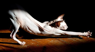 McNally High School student Orinta Lescinskaite took 1st place with this great photograph of her Sphynx cat. Orinta Lescinskaite/Special to the Edmonton Sun Reader/QMI Agency