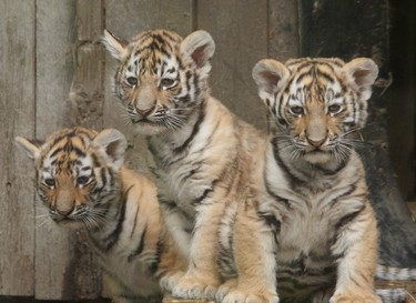The male cubs are named Samkha and Vasili and have been moved to Winnipeg. Their sister Kira is staying in Calgary. (CALGARY SUN)