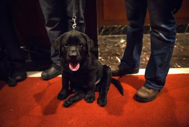 A Labrador Retriever puppy is seen at the American Kennel Club (AKC) in New York January 31, 2014. (REUTERS/Eric Thayer)