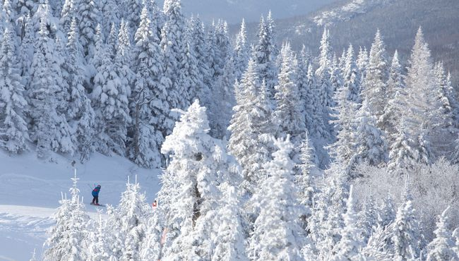 A skier is dwarfed by snow-covered pine trees as they head down a run at Mont Tremblant, Que. on Friday January 24, 2014.CRAIG GLOVER/QMI AGENCY