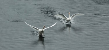 Mute Swans land at the Titicus Reservoir in Purdys, New York, February 19, 2014. (REUTERS/Eduardo Munoz)