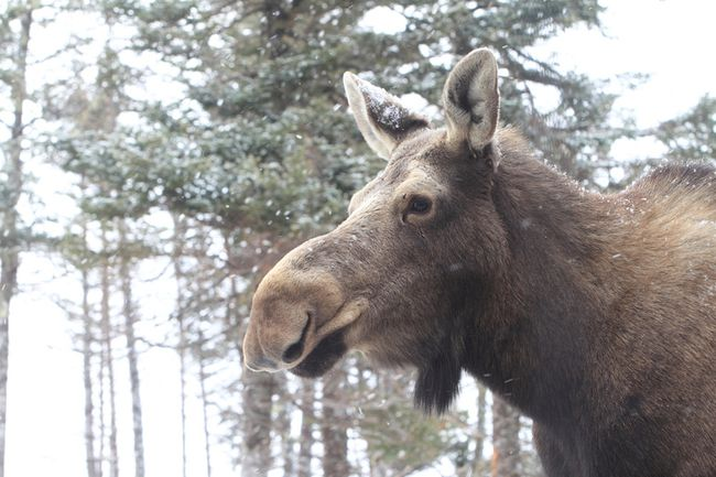 A Nova Scotia moose is pictured. (Photo by Mike Dembeck)