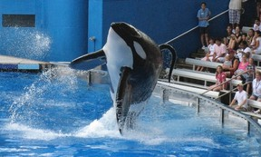 """Tillikum, a killer whale at SeaWorld amusement park, performs during the show """"Believe"""" in Orlando in this September 3, 2009 file photo. The """"Blackfish"""" documentary was originally conceived without a point of view as Gabriela Cowperthwaite set out to answer the question of why a top trainer at SeaWorld became the victim of killer whale, Tillikum, with which she worked and performed. (REUTERS/Mathieu Belanger/Files)"""