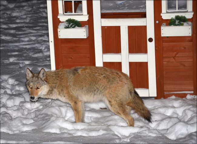 Wily coyotes paying visit to man's yard   The Kingston ...