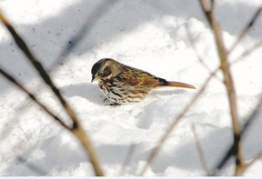This fox sparrow was feeding in a London yard from mid-February to early March. Its grey nape and heavily streaked underparts are distinctive. (Jeanne Poole/Special to QMI Agency)
