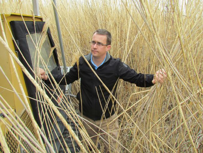 Lambton-Kent-Middlesex MPP Monte McNaughton is shown in a stand of phragmites in a wetland near Kettle and Stony Point in this May 2013 file photo. The Tory MPP has repeated his request that Ontario add the invasive reed to its list of noxious weeds. (PAUL MORDEN, The Observer)