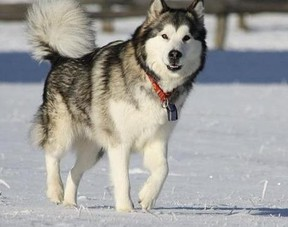 Two Alaskan Malamute dogs (like this one pictured) mauled a seven-year-old St. Andrews girl to death on Sunday, say RCMP. (WEB PIC)