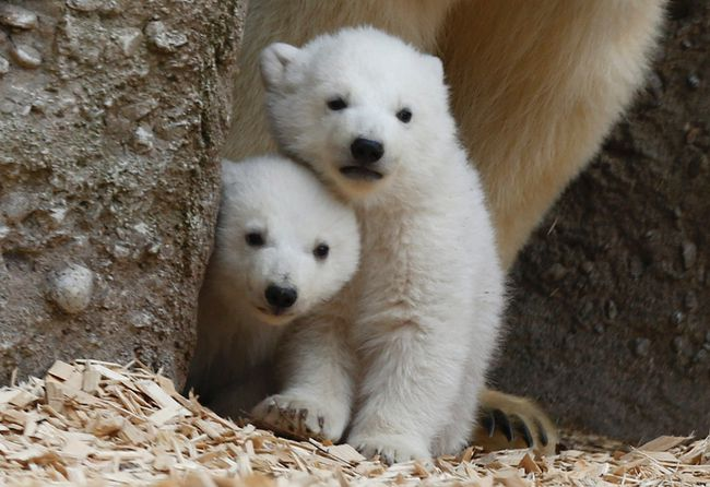 Twin polar bear cubs stand with their mother Giovanna in their enclosure at Tierpark Hellabrunn in Munich, March 19, 2014. The 14-week-old cubs, who made their first public appearance on Wednesday, have yet to be named. (REUTERS/Michael Dalder)
