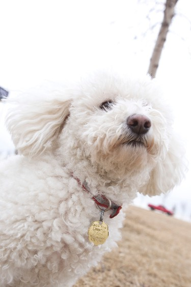 Mimi, a eight-year-old Poodle-Bichon Frise cross, is seen wearing her dog tag at Jackie Parker Park about animal licenses in Edmonton, Alta., on Saturday, April 5, 2014. The City of Edmonton  is looking to have more pet owners license their pets, both dogs and cats. According to the City, only 35 per cent of cats and 65 per cent of dogs in the city are licensed. Ian Kucerak/Edmonton Sun/QMI Agency