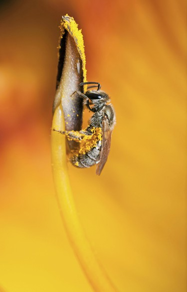 """Runner-Up: Leigh Ayres, Oshawa, Ontario. """"A sweat bee collects pollen from a day lily near Kashwakamak Lake in North Frontenac, Ontario."""" (Courtesy Canadian Museum of Nature)"""