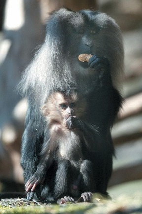 Former zoo curator Bob Wrigley told the Sun in 2004 that the endangered lion-tailed macaque was bred more at the Assiniboine Park Zoo than any other facility in the world.