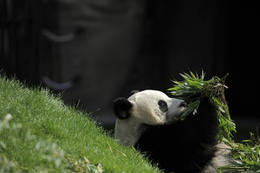 Giant panda Hao Hao eats bamboo leaves in its pen at Pairi Daiza animal park in Brugelette on April 15, 2014.   (AFP PHOTO /JOHN THYS)