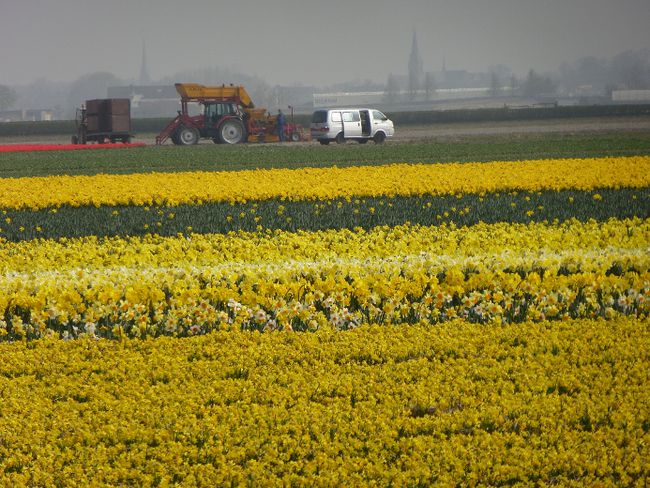 One of many flower bulb fields near Keukenhof garden in Lisse, Netherlands. ROBIN ROBINSON/TORONTO SUN