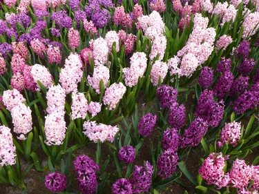 """Swaths of fragrant hyacinths perfume the air at Keukenhof garden in the Netherlands. The park is sometimes called the �garden of Europe."""" ROBIN ROBINSON/TORONTO SUN"""