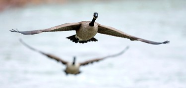 Geese take off from the Thames River as they fly over Gibbons Park in London, Ontario on Monday April 14, 2014. CRAIG GLOVER/QMI Agency