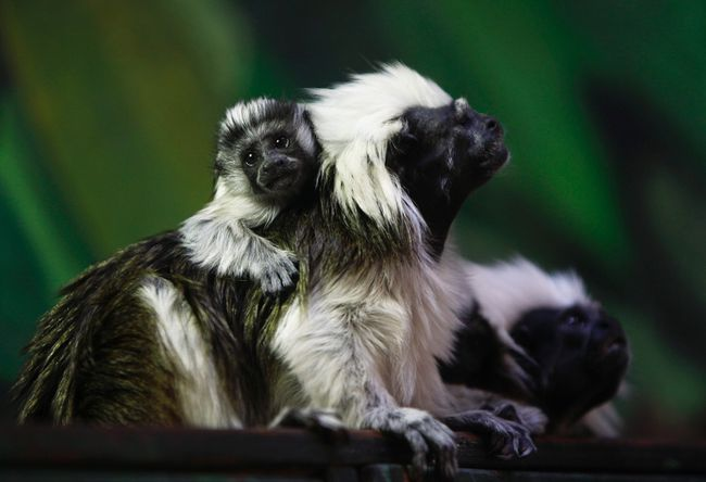 A month-old cotton-top tamarin, a species of monkey which originates from South America, is seen with its parents at their enclosure in the Biblical Zoo in Jerusalem August 17, 2012. REUTERS/Amir Cohen