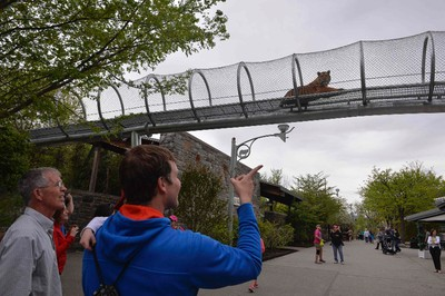 Zoo goers watch a Amur tiger in the new Big Cat Crossing at the Philadelphia Zoo in Philadelphia, Pennsylvania May 7, 2014.   REUTERS/Charles Mostoller