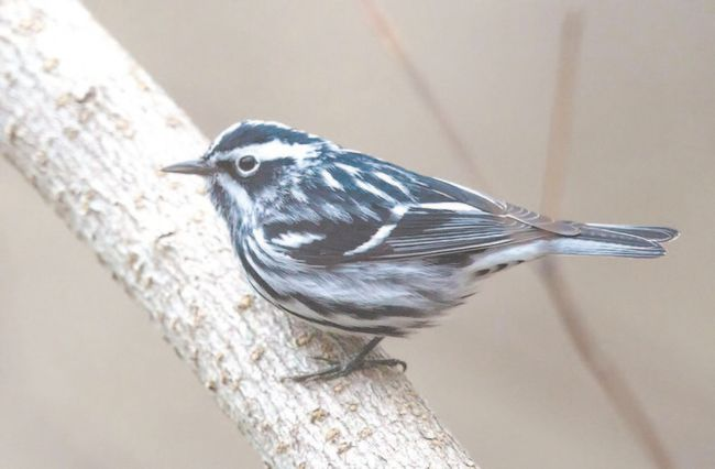 The well-named black-and-white warbler can now be seen at Point Pelee National Park and in forests across Southwestern Ontario. This pretty bird behaves like a nuthatch or creeper, crawling along tree trunks and limbs to find insects in the bark. (Steve Donnelly, Special to QMI Agency)