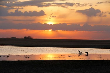 Squabbling geese at dawn north of Strathmore , Alta., on Wednesday May 14, 2014. Mike Drew/QMI Agency