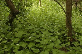 Garlic mustard is being targeted by the City of Edmonton as a potentially harmful weed. Photo supplied