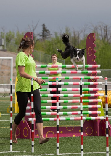 Tilt easily jumps 10 poles with the help of trainer, Terry Oneil during the Dynamo Dogs performance at the Rainmaker Rodeo in St. Albert, Alberta on May 25, 2014.  CHAD STEEVES/EDMONTON SUN /QMI AGENCY