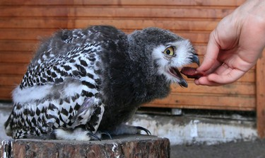 Lime, a 6-week-old Snowy Owl chick, is fed by zoo employee Daria Zhirnova at the Royev Ruchey zoo in a suburb of Russia's Siberian city of Krasnoyarsk, August 14, 2013. Lime is a participant in the zoo's programme of taming wild animals for research and for interaction with visitors. REUTERS/Ilya Naymushin (RUSSIA  - Tags: ANIMALS SOCIETY)