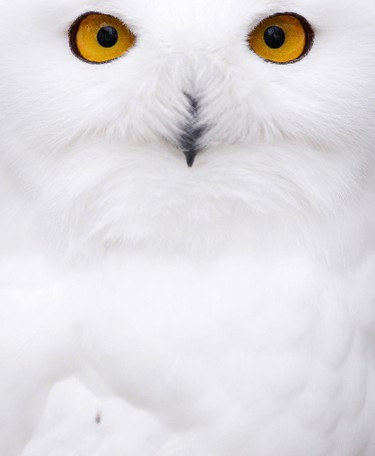 A snowy Owl sits on November 5, 2013 in their enclosure at the zoo in Hof, Germany.  AFP PHOTO / DPA / DAVID EBENER /GERMANY OUT