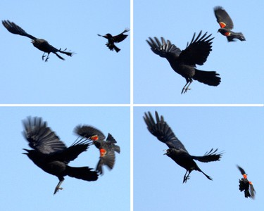 Angry Bird. A Red-winged Blackbird chases and attacks a crow to keep it away from its nest at Edmonton's Hermitage Park at 129 Ave., and 22 St., on Tuesday May 27, 2014. Max Maudie/Edmonton Sun/QMI Agency