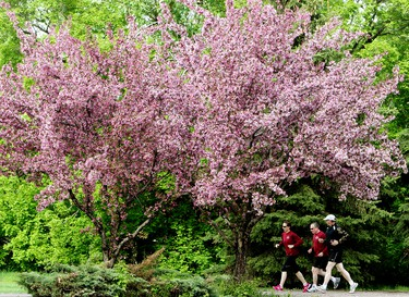 Joggers make their way past cherry blossoms in George F. Hustler Memorial Plaza, near 95 Street and 98A Avenue, in Edmonton Alta., on Thursday May 29, 2014. David Bloom/Edmonton Sun/QMI Agency