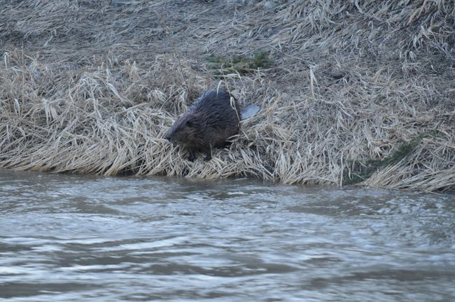 A beaver is pictured on the shoreline of Bear Creek in Grande Prairie, Alta., in this April 12, 2014 file photo. (JESSE THOMAS/QMI Agency)