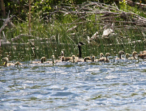 waugh Canada geese with goslings at Police Outpost Lake