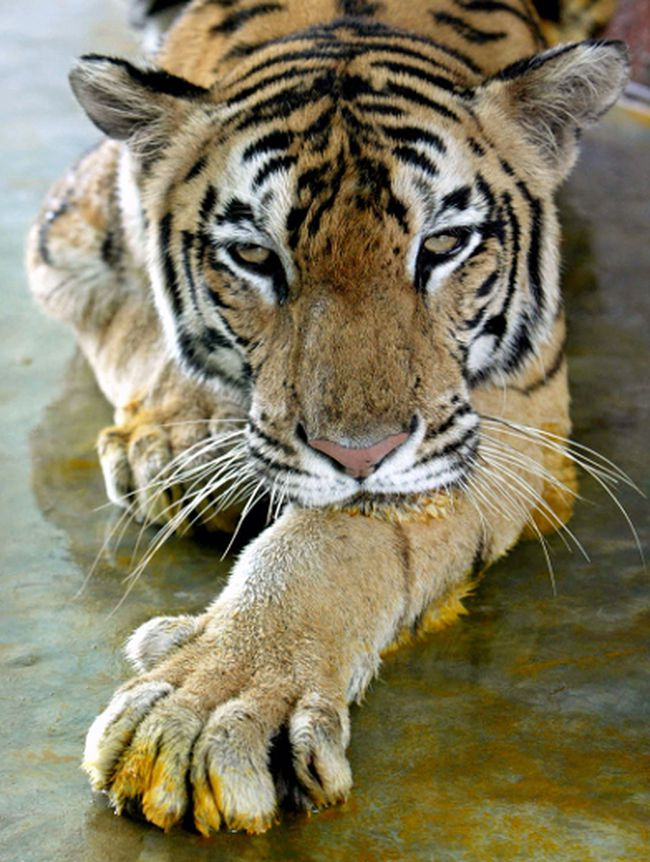 A Royal Bengal tiger. (REUTERS/Rupak De Chowdhuri)