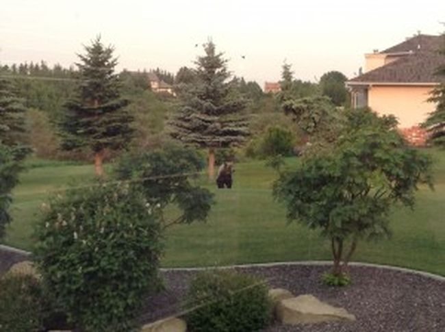 Woman Discovers Grizzly In Backyard At Calgary City Limits