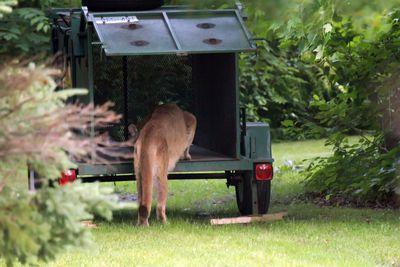 A cougar on the Wilson home property on Cranberry Lake Road just north of Grafton, Ont. on July 11, 2014.