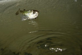 A young chinook salmon. (QMI Agency file photo)