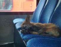 Talk about caught napping. This fox was spotted taking a siesta on the seat of an OC Transpo bus early Wednesday, July 23, 2014. It woke up shortly after and took off. (Twitter photo/QMI AGENCY)