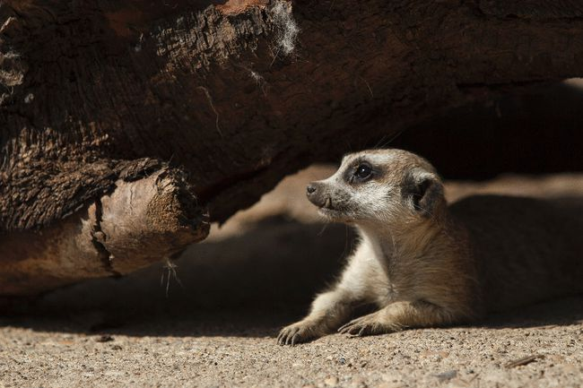 Snaggletooth, a slender-tailed meerkat, peeks out from under a log in her new enclosure at the Edmonton Valley Zoo in Edmonton, Alta., on Wednesday, July 23, 2014. Eight meerkats, five males and three females, went on display in their new habitat in June 2014. They come to Edmonton from the Czech Republic. Ian Kucerak/Edmonton Sun/QMI Agency