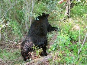 A black bear lays dead after a 60-year-old man was attacked after he had shot the bear while hunting on private party in Smoky Lake County, Alberta. Photo Courtesy/Alberta Fish & Wildlife
