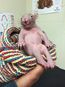 Leah, an orphaned baby wombat