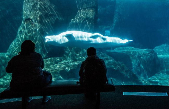 A beluga whale at the Vancouver Aquarium. (FILE PHOTO)