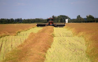 Harvesting time has begun. A farmer uses a Swather on a field Saturday evening on Aug 23, 2014 near Anthony Henday and Manning freeway in Edmonton Alta. After dying the field will be combined. Hugo Sanchez/Special to the Edmonton Sun