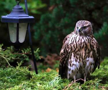 A young Hawk looks for dinner in the Westend community of LaPerle on Friday, September 5, 2014