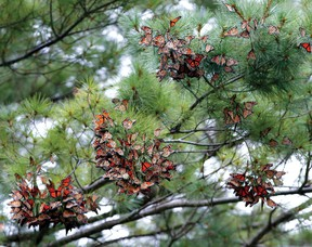 Monarch butterflies swarm into the limbs of a pine tree where they cling to the needles for an overnight rest at the Widzinski property east of Brockville on Tuesday evening. (DARCY CHEEK/The Recorder and Times)